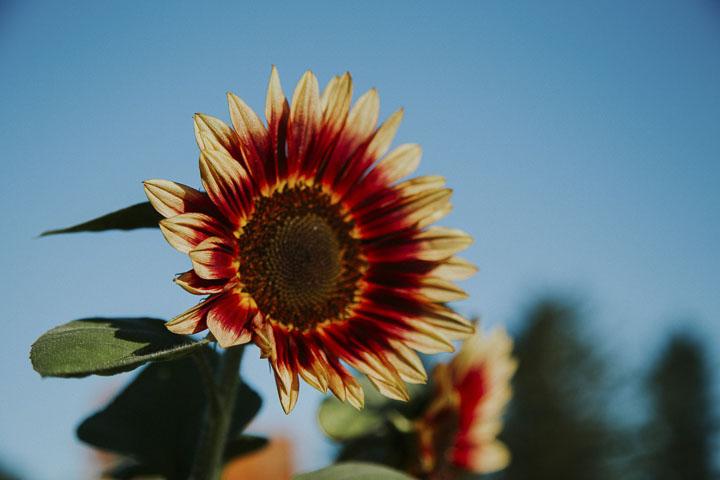 Chilliwack Sunflower Festival 2021: Dates, Location, Tickets