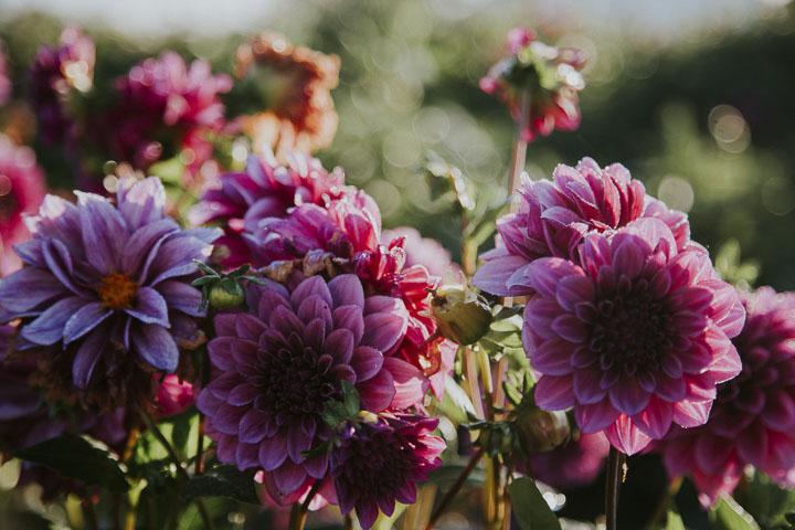 Chilliwack Sunflower Festival: Date, Hours, Tickets Info
