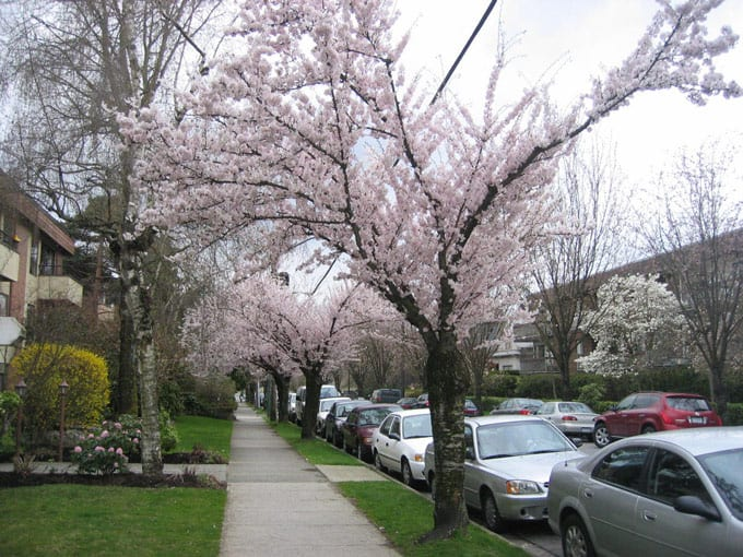 Most popular places to see cherry blossoms in Vancouver