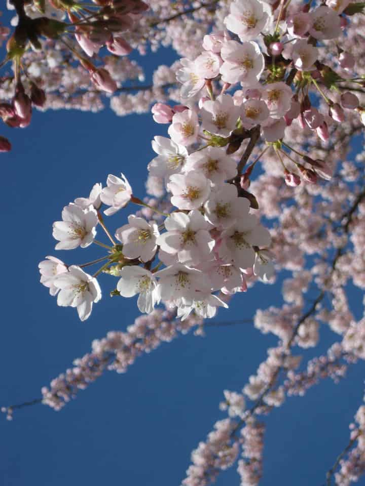 Cherry Blossoms Vancouver 2021: Where to see, What's Blooming, Map