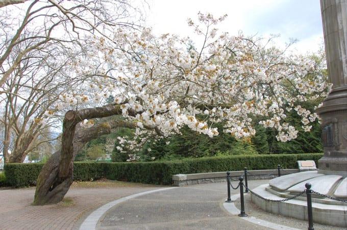 Cherry Blossoms Vancouver stanley park