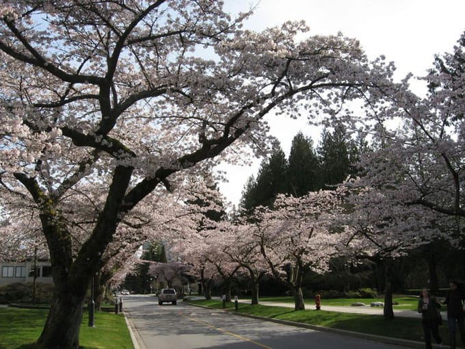 UBC Cherry Blossoms